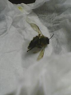 無惨な蜂…